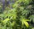 cannabis-indoor-growing