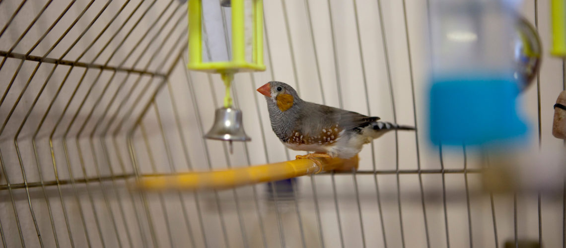 'Fred the mad finch' in his cage in a prisoners cell at HMP Kingston. Portsmouth, United Kingdom. Kingston prison is a category C prison holding indeterminate sentenced prisoners.